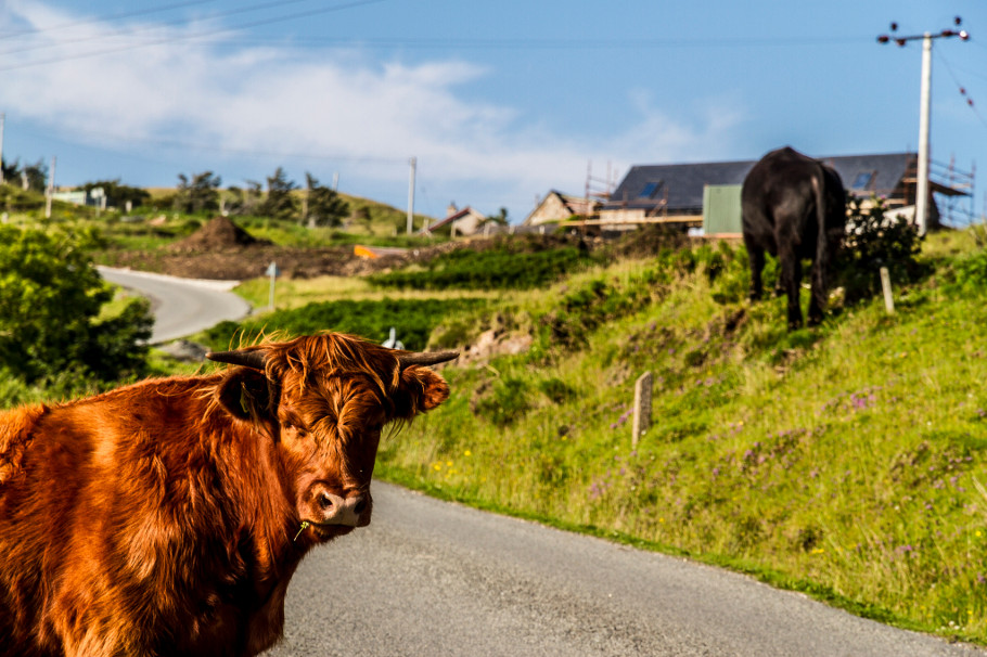 highland cow elgol isle skye
