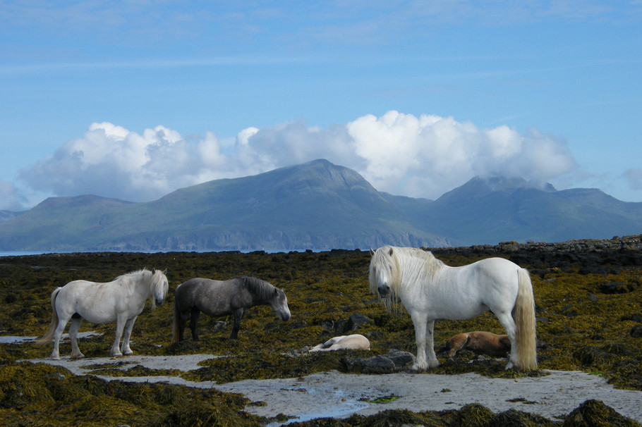 isle of muck wild horses
